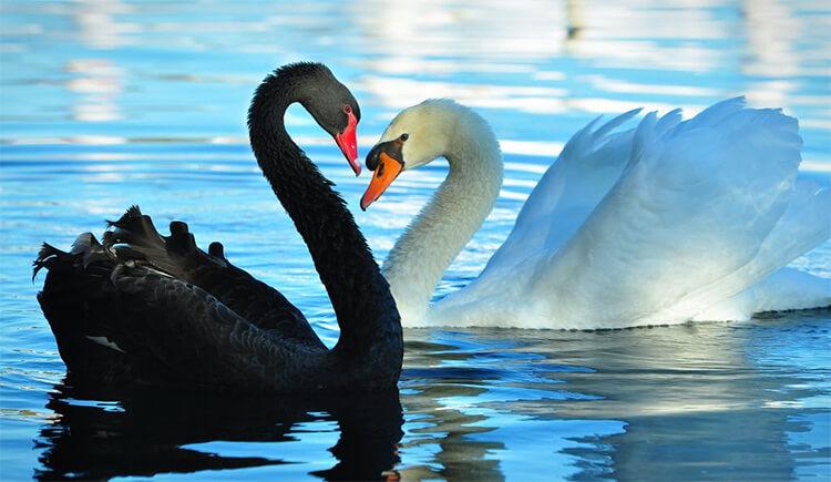 Thiên nga đen và thiên nga trắng